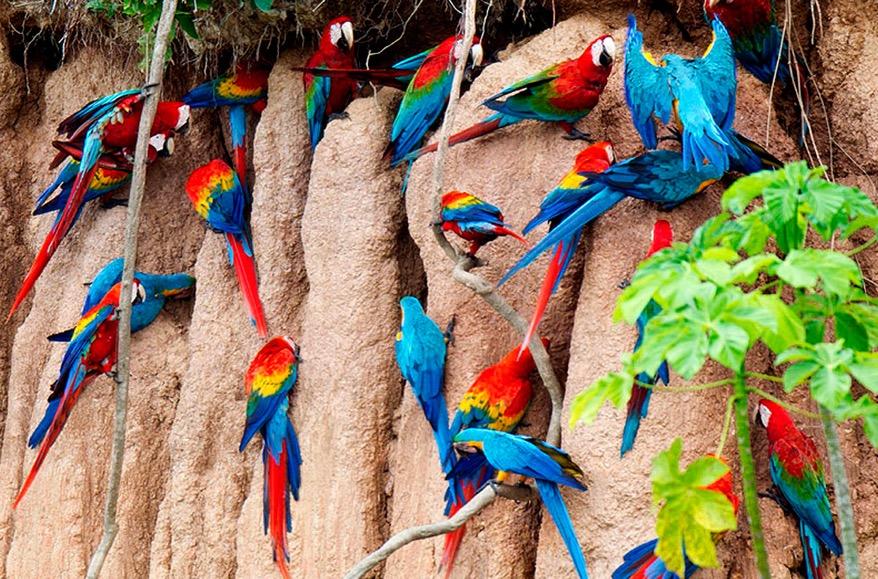 Amazonie papousci