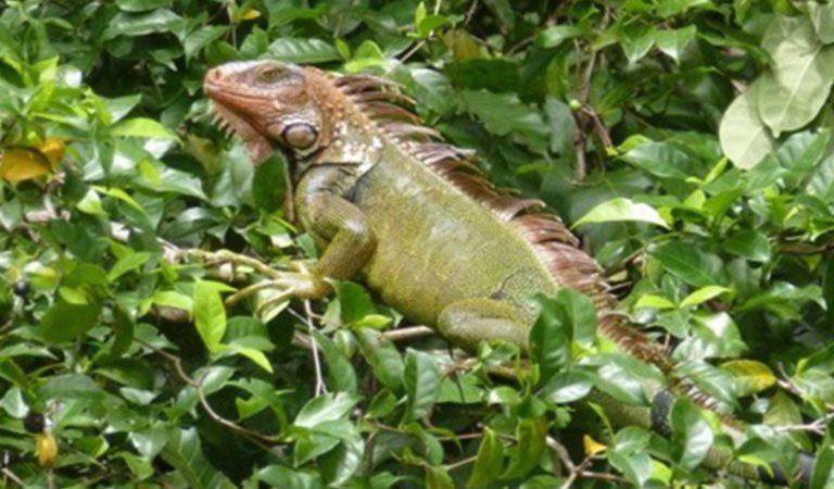Kostarika den 9 Manuel Antonio leguan