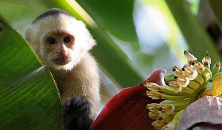 Kostarika den 9 Manuel Antonio opice