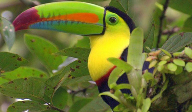 Kostarika den 3 Národní park Tortuguero tukan
