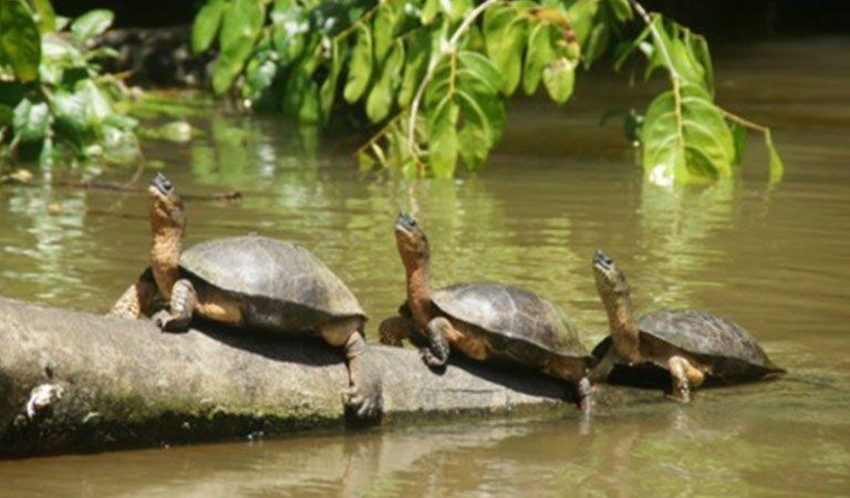 Kostarika den 3 Národní park Tortuguero zelvy