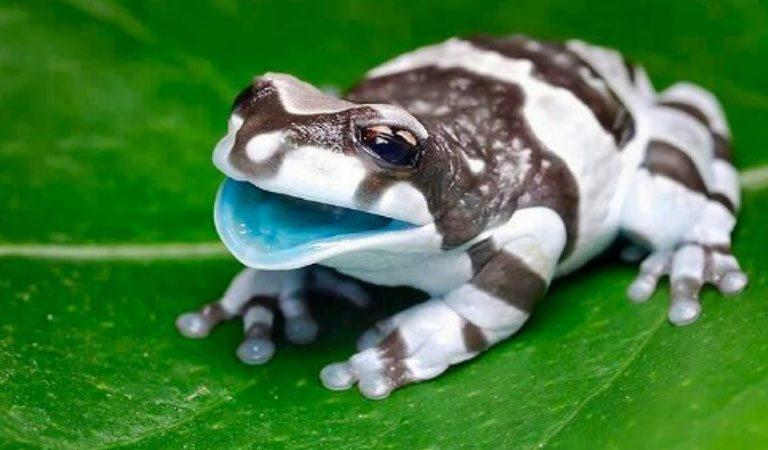 Peru Amazonie jedovata zaba