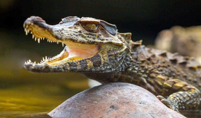 Peru Amazonie krokodyl 1
