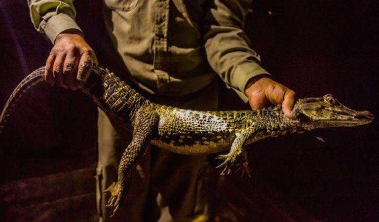 Peru Amazonie krokodyl