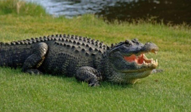Peru Amazonie krokodyli