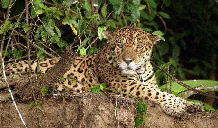 Peru Amazonie leopard