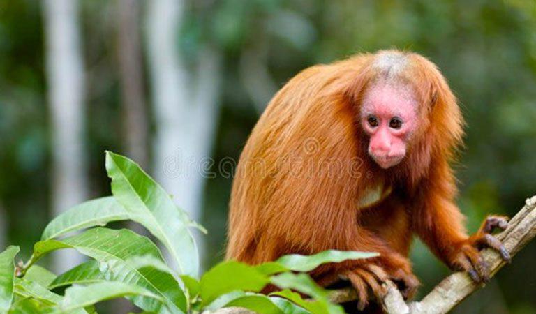 Peru Amazonie opice