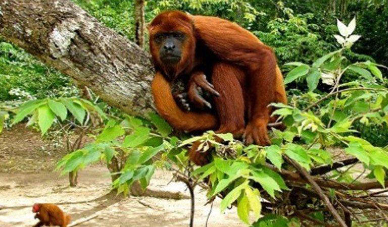 Peru Amazonie orangutan