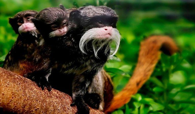 Peru Amazonie prales opice