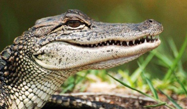 Peru Maldonado krokodýl
