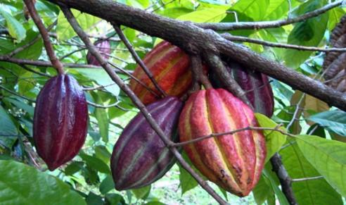 čokoládová plantáž